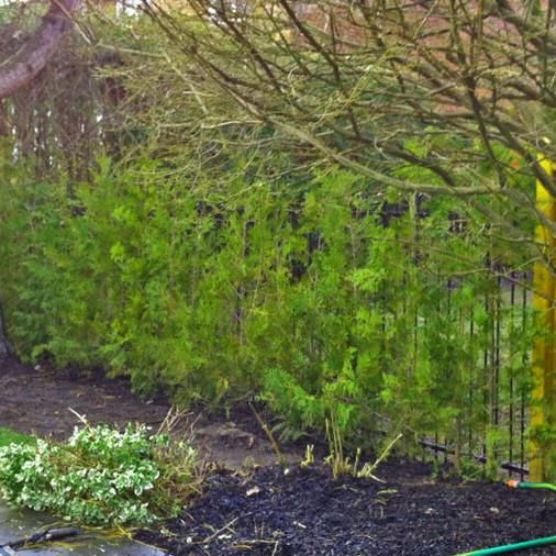 Cedar Hedge in Markham