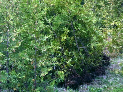 Cedar hedges for sale