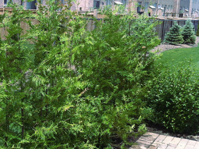 Healthy Eastern White Cedars for Sale