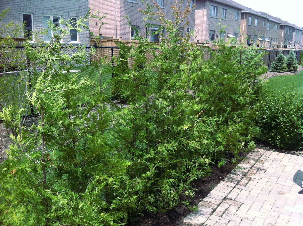 Pictures of cedar trees - Healthy Eastern White Cedars For Sale